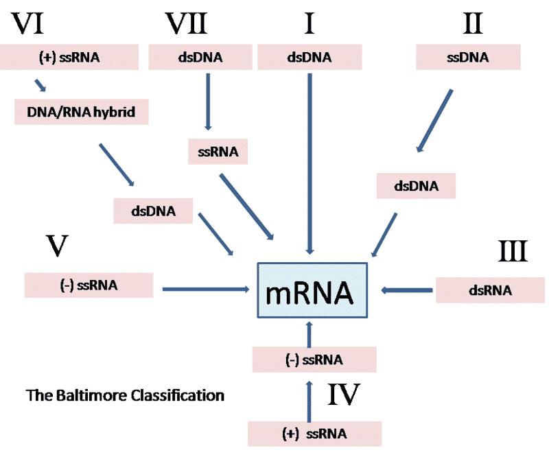 virus classification