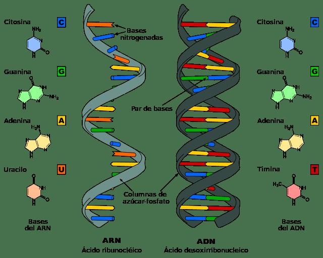 ARN y ARN